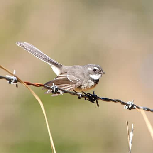 Grey Fantail (2)
